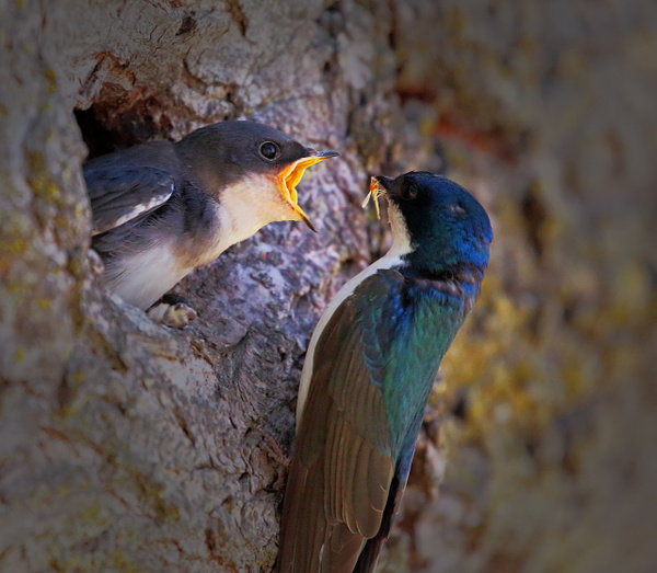 Male Tree Swallow feeds his baby by FotoClaveGallery