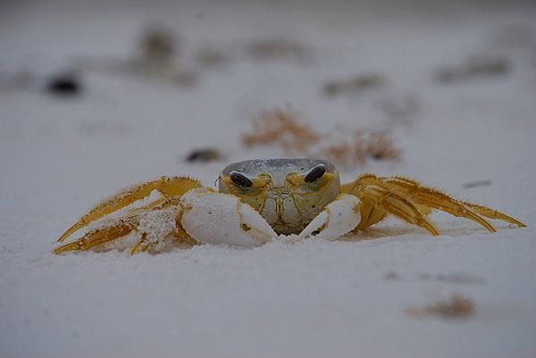 Crab by SarahBasford