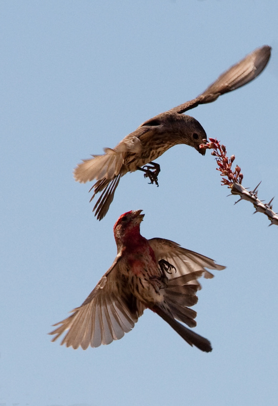 House Finch Squable