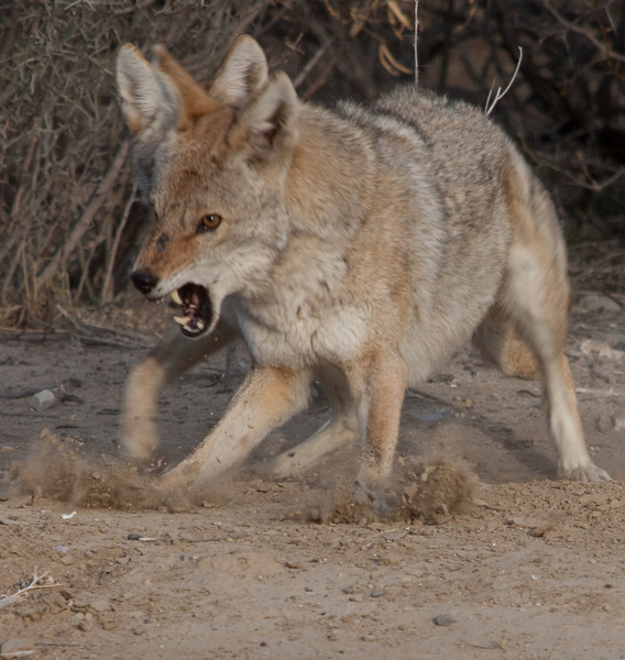 Coyote Fight by Clyde Replogle