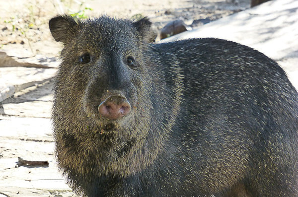 Javelina Portrait (1 of 1) by Clyde Replogle