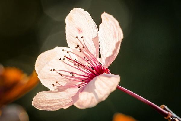 Fleur de prunus by EddyVanhoeke