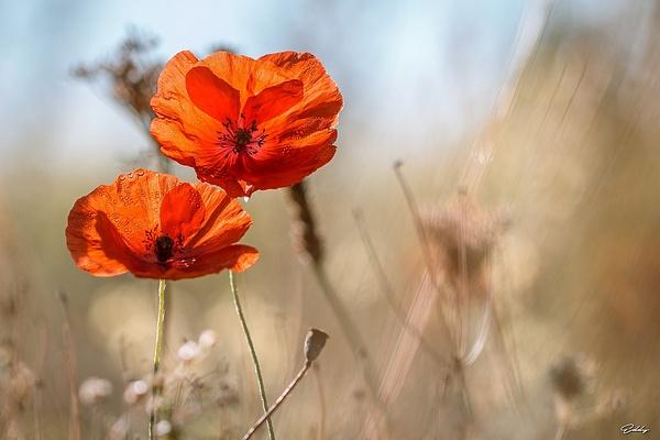 Coquelicot d'automne by EddyVanhoeke