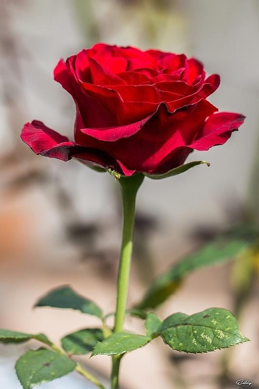 Portrait_de_rose