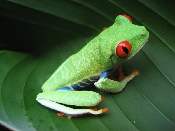 Costa_Rican_Frog by SilverWatch