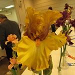 Iris Shows