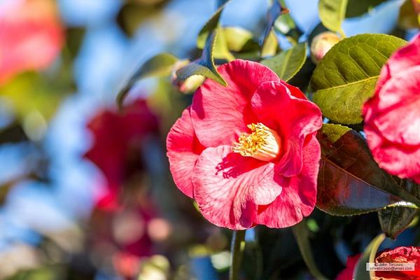 Camellia flowering plant by John Torcasio