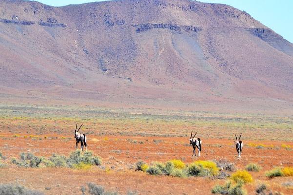 Gemsbok/oryx by Rene De Klerk