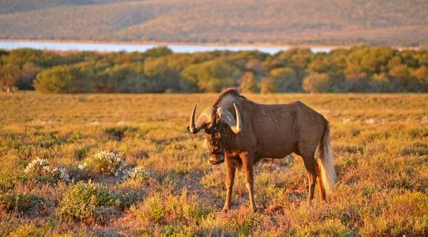 Black Wildebeest by Rene De Klerk
