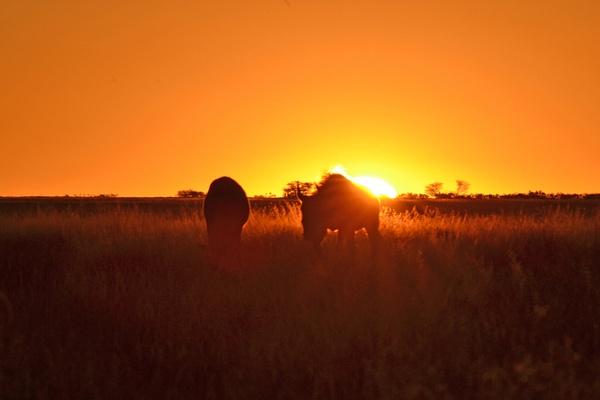 Black Wildebeest sunset by Rene De Klerk