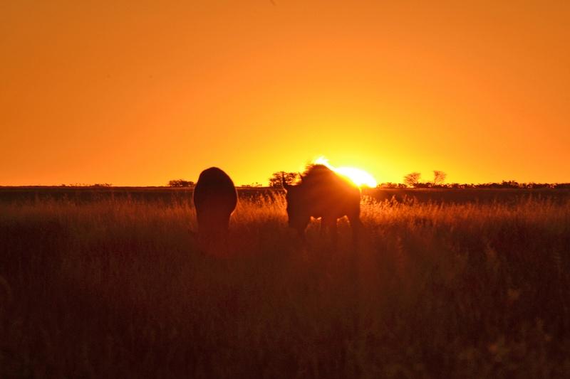 Black Wildebeest sunset