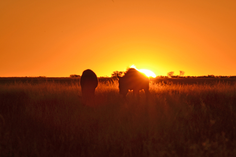 Wildebeests sunset