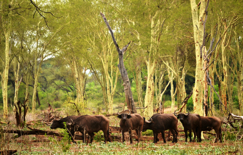 Buffalo_in_fever_tree_forest_(2)