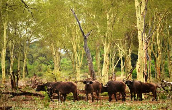 Buffalo in fever tree forest (2)