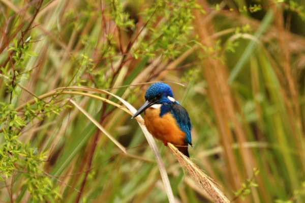 Kingfisher by Rene De Klerk