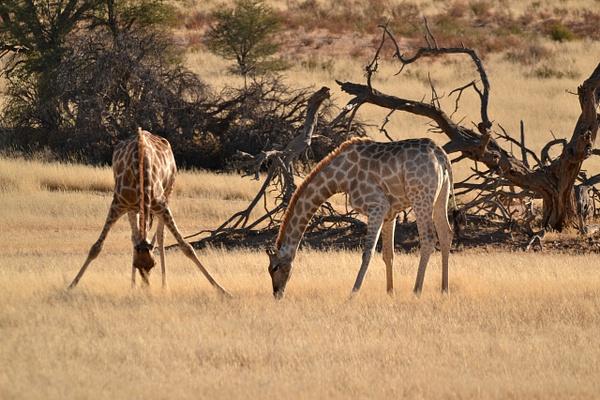 Giraffes by Rene De Klerk