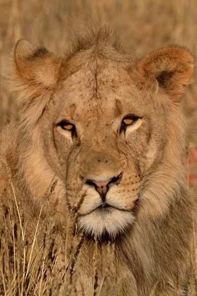 King of the jungle by Rene De Klerk