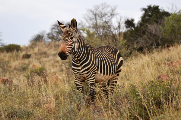 Cape mountain zebra by Rene De Klerk