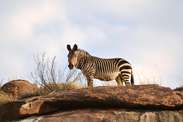 Cape mountain zebra (3) by Rene De Klerk