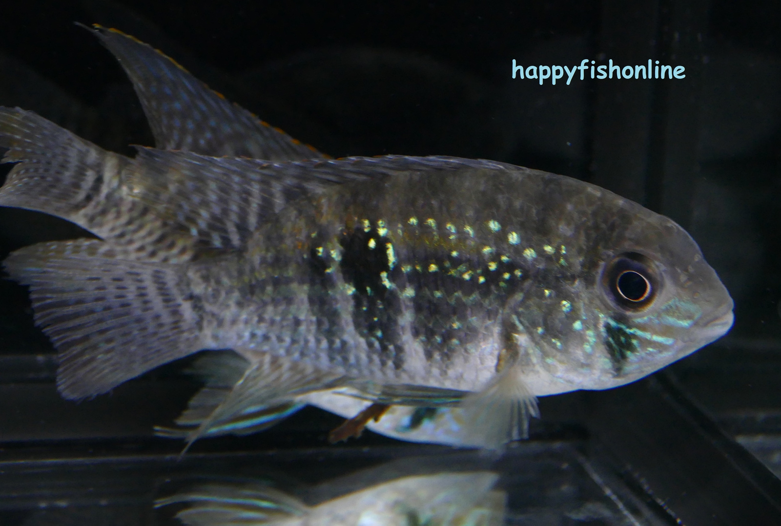 blue acara 5 by * happyfishonline com *