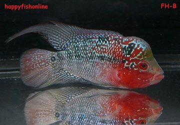 SUPER RED DRAGON FLOWERHORN 3 5-4' FH-B by *