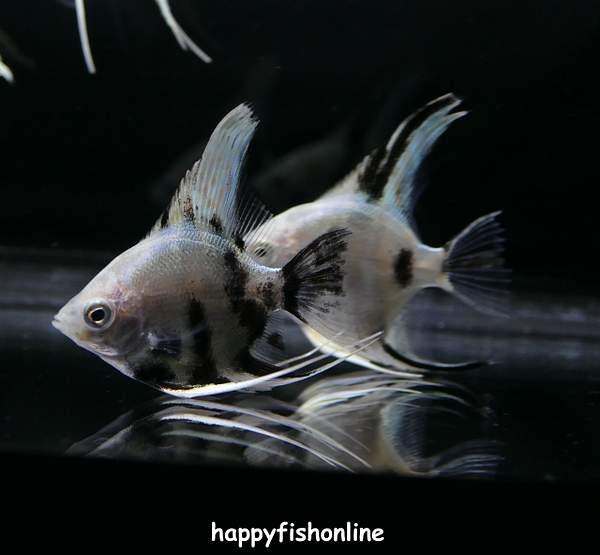 Panda Angelfish | Platinum Panda Angelfish By Happyfish