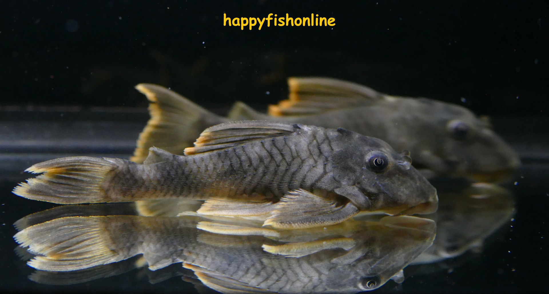 L076 REDFIN TIGER PLECO by * happyfishonline com *