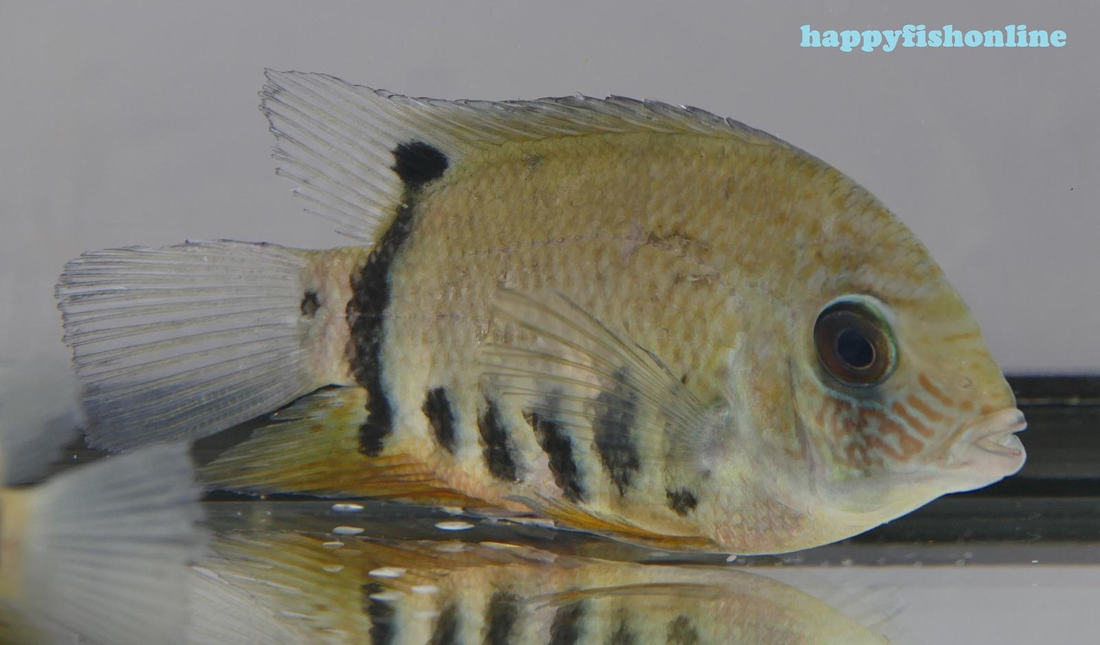 severum blue face 10 by * happyfishonline com *