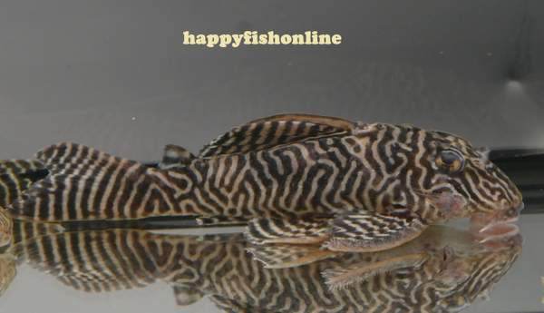 L066 KING TIGER PLECO by * happyfishonline com *