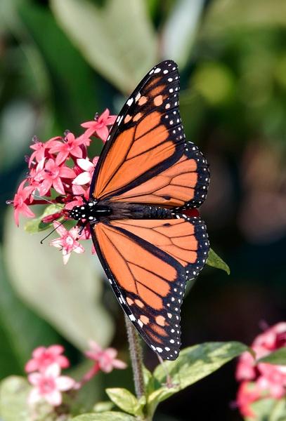 Butterflies by Suzanne Flynn
