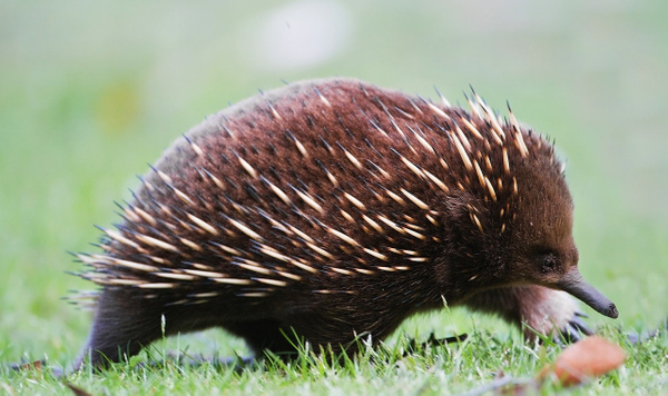 Echidna by WenTay4