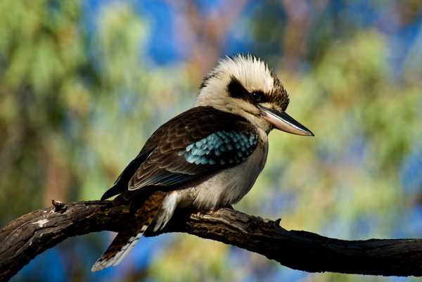 kookaburra by WenTay4