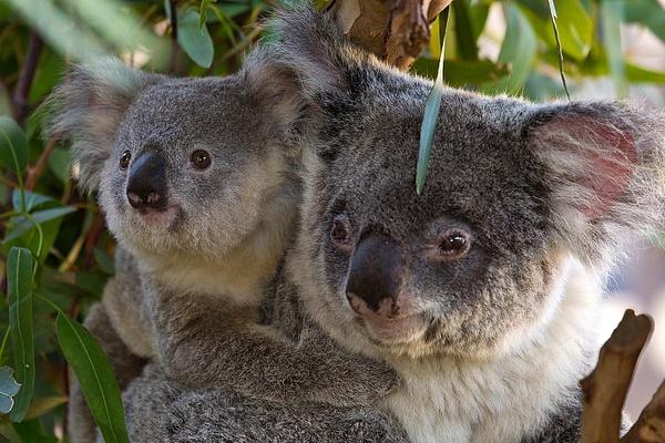 koala by WenTay4