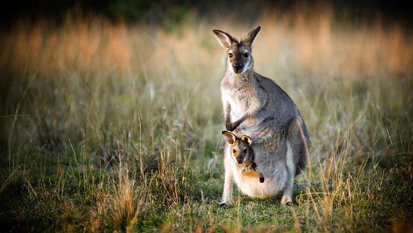 kangaroos by WenTay4