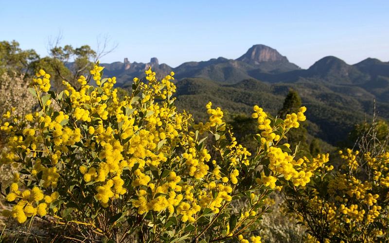 Wattle-in-the-Warrumbungles,-New-South-Wales