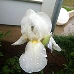 Iris--