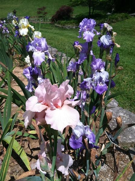 Ellington Ag Ctr Iris Garden by SbKaestner by SbKaestner