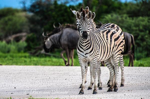TRY HEADED ZEBRAS by MeetupPhoto