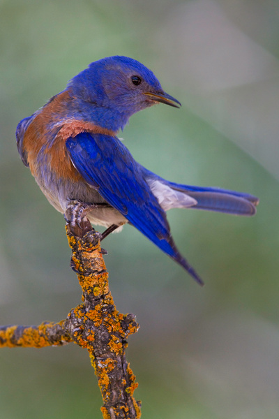 Male Western Bluebird Lifts Tail and Drops Wing...