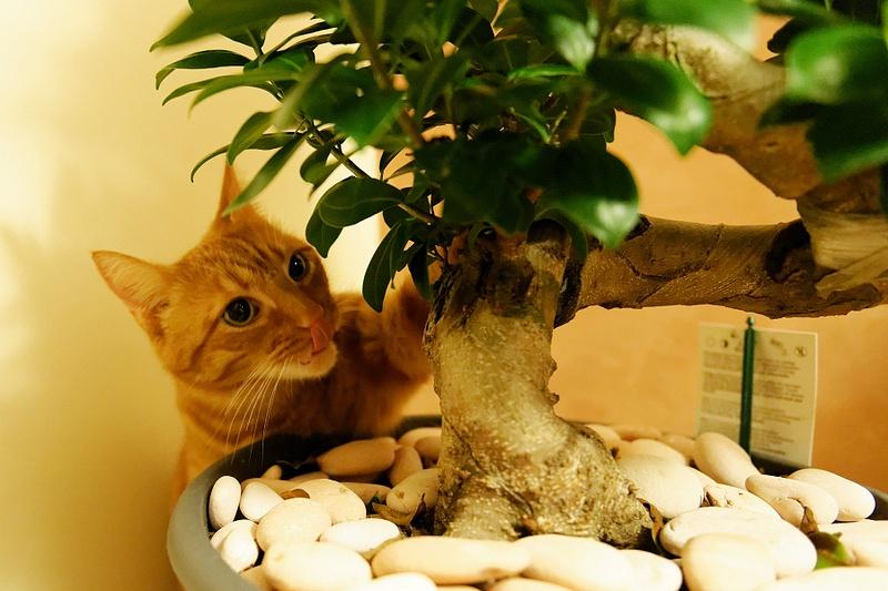 Cat tastes Bonsai Tree