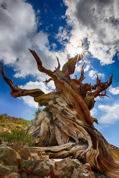 Bristlecone Pine by MeetupPhoto