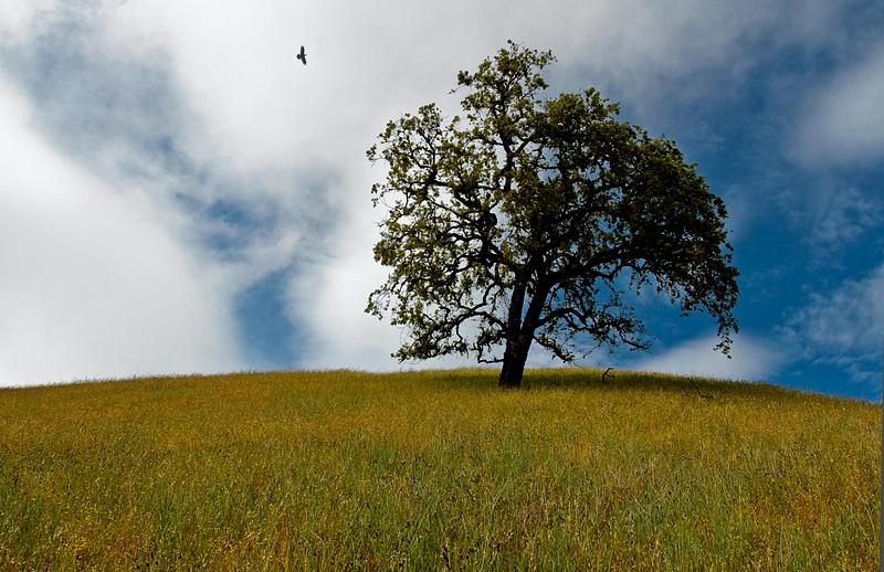 montebello_tree