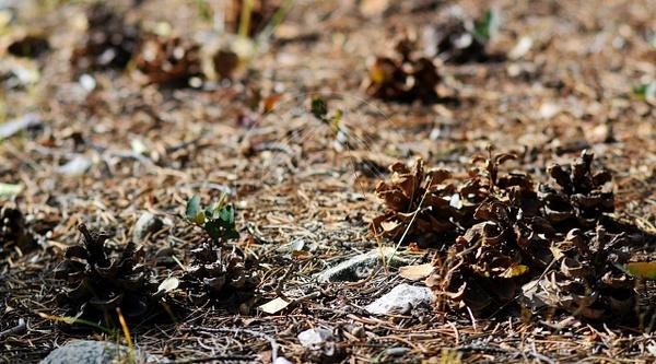 171022_gbnp_pinecones by HiddenrebelBass
