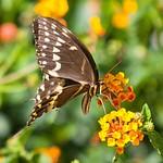 Frontyard Butterflies