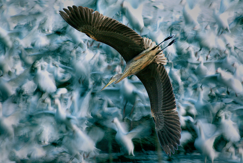 Great Bue Heron Flew over Snow Geese