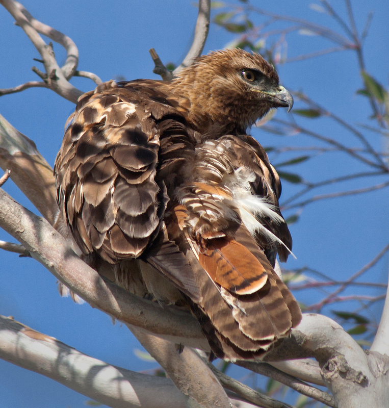 Red-tailed Hawk Keeps Eye on the Prey
