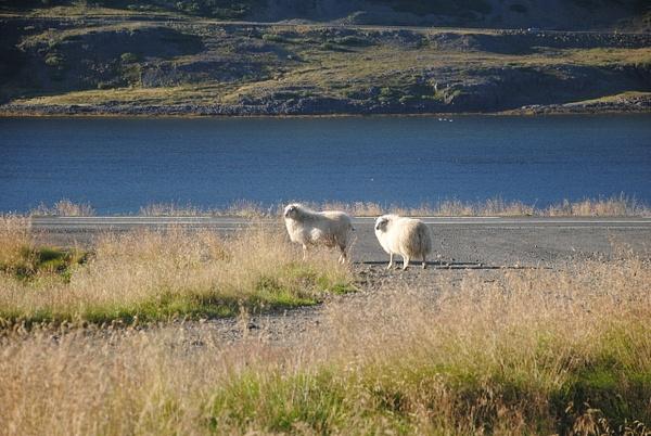 Sunny sheep :) by Maria Dzeshchanka