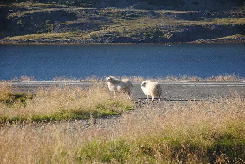 Sunny sheep :)