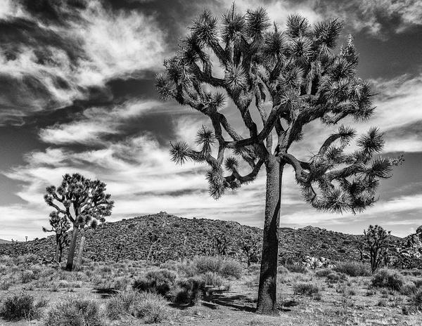 Vista At Joshua Tree National Park by Cass Kalinski