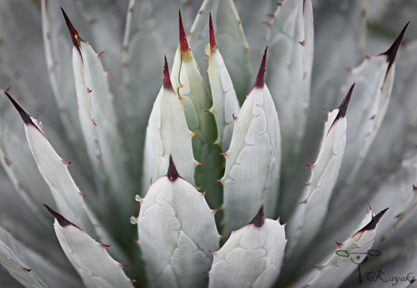 White Agave by Cass Kalinski